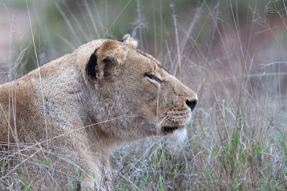 African Lion Leone Panthera Leo