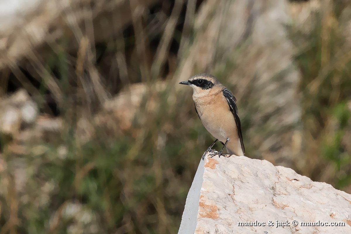 photos/Passeriformes/Muscicapidae/Black-eared Wheatear - Monachella - Oenanthe hispanica/IMG_8218