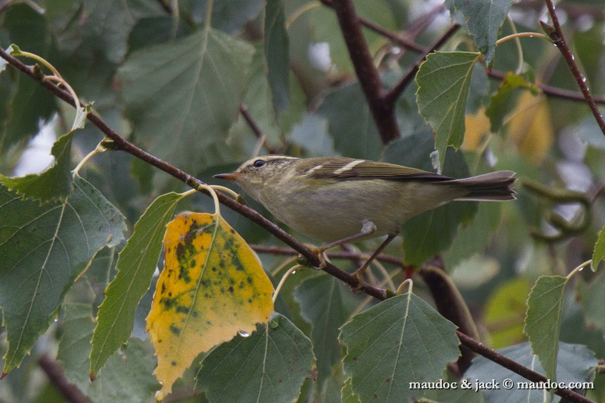 photos/Passeriformes/Phylloscopidae/Yellow-browed Warbler - Luì forestiero - Phylloscopus inornatus/IMG_1689